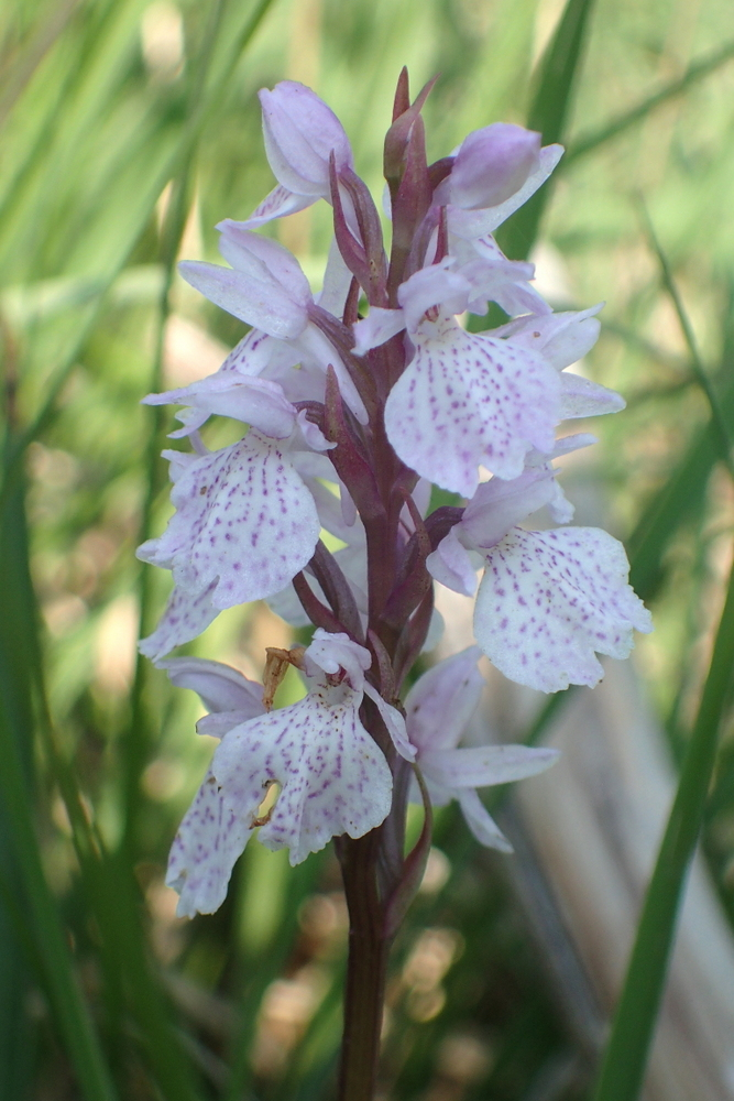 Orchis tacheté (Dactylorhiza maculata maculata) © A. Pernat